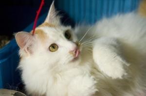 Finda 2 PPAR Adoptable Cat