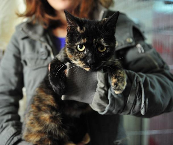 Shiny 3 PPAR Adoptable Cat April 2013